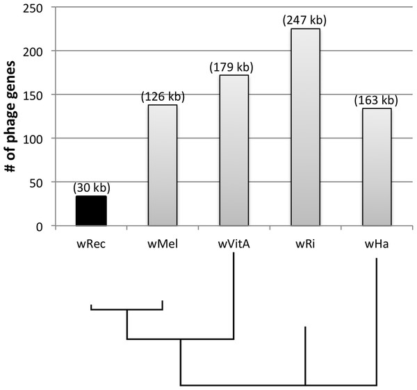 Number of phage genes in wRec and its relatives.