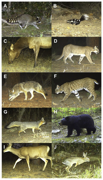 Motion-activated camera images of mammal species included in the study.