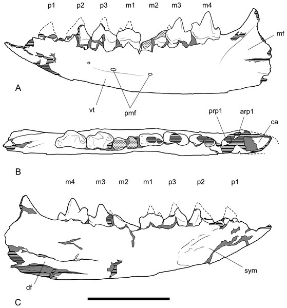 Drawings of dentary.