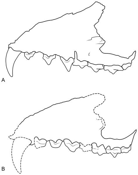 Comparison of Thylacinus maxillae.