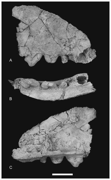 Photographs of anterior part of maxilla.