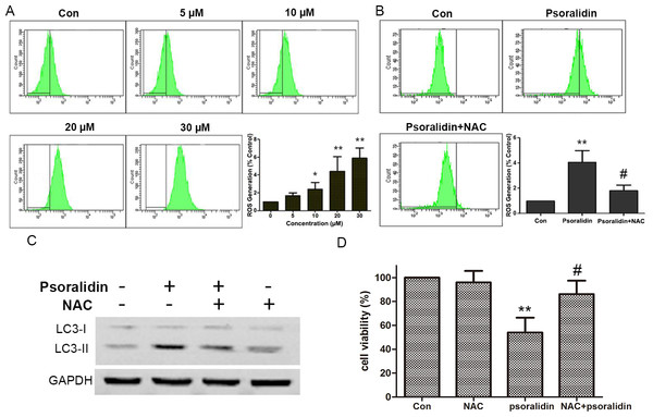Psoralidin induced ROS generation and NAC reversed psoralidin-induced autophagy and cell death.