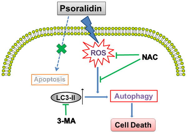 Schematic diagram illustrates the underlying mechanism of psoralidin-induced cell death in A549 cells.