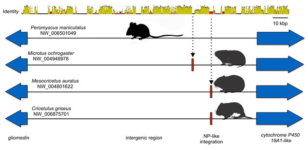 Cartoon comparing the aligned genomic regions of cricetid rodents that contain a putative orthologous filovirid NP-like sequence.