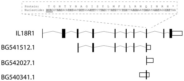 Schematic diagram of IL18R1 reference sequence and aligned expressed sequence tags.