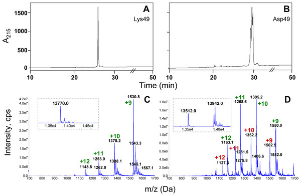 Analysis of the Asp49 phospholipase A2 preparation obtained after cation-exchange chromatography and semi-preparative RP-HPLC on C8.