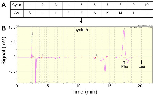 N-terminal amino acid sequencing of the Asp49 phospholipase A2 N-terminal amino acid sequencing of the Asp49 phospholipase A2 peak shown in Fig. 1 (A; first ten residues), and snapshot of the fifth cycle chromatogram (B).