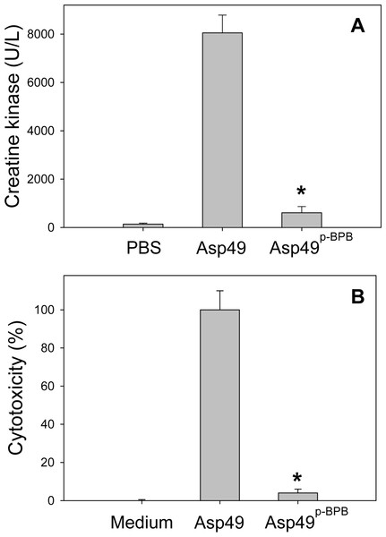 Comparison of the myotoxic (A) and cytotoxic (B) activities of untreated and p-BPB-treated Asp49 myotoxins.