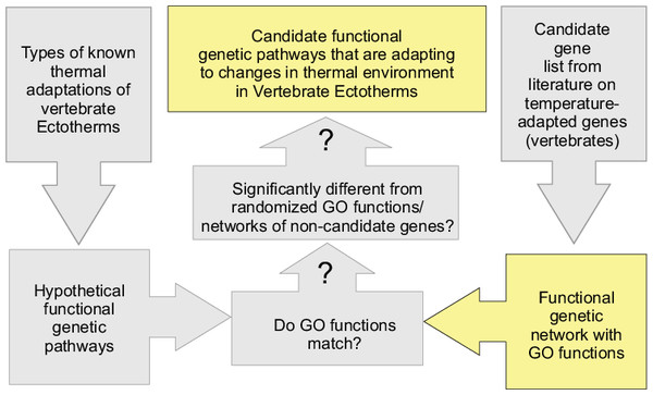 Flow chart of the process of identifying candidate functional pathways that are likely adaptive to changes in the thermal environment across vertebrates. Question marks denote hypothesis testing.