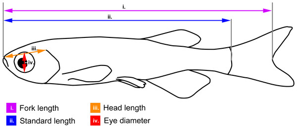 Body measurements illustrated on a schematic zebrafish.