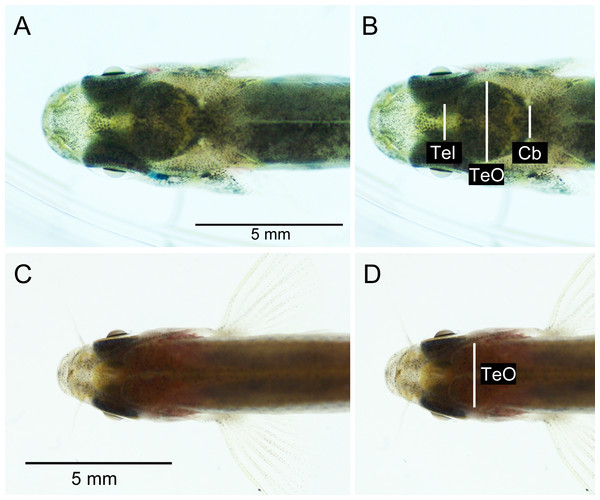 Dorsal photographs of brown trout fry (fork length: 31.1 mm) (A), (B), and young adult zebrafish (fork length: 23.3 mm) (C), (D). (B) and (D) show measurements taken from images.