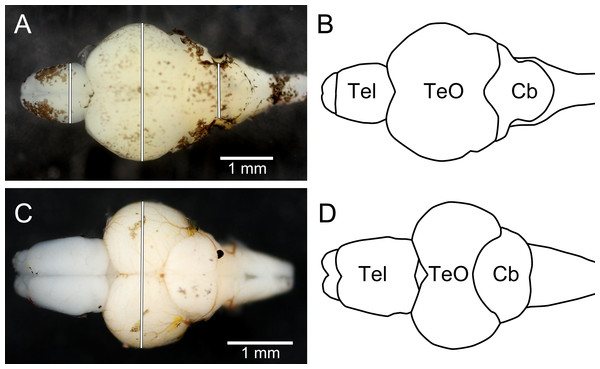 Dorsal photographs of brown trout fry brain (A), and juvenile zebrafish brain (C), with measurements taken marked as white lines. (B) and (D) show outlines of the trout brain and the zebrafish brain, respectively.