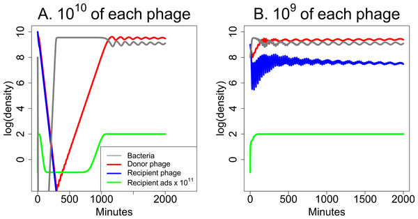 Weak synergy: short term dynamics of donor and recipient phages when synergy is insufficient to maintain both phages.