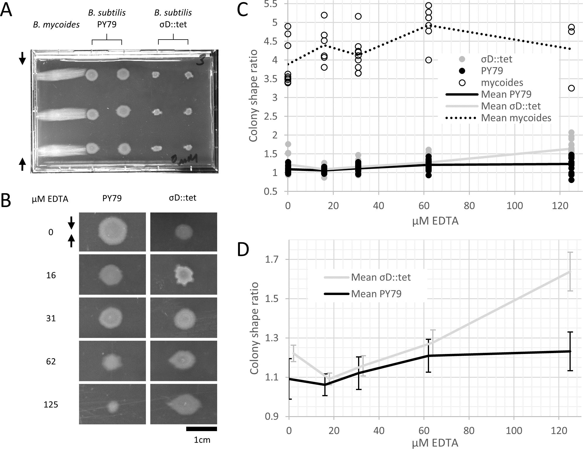 b subtilis morphology and arrangement