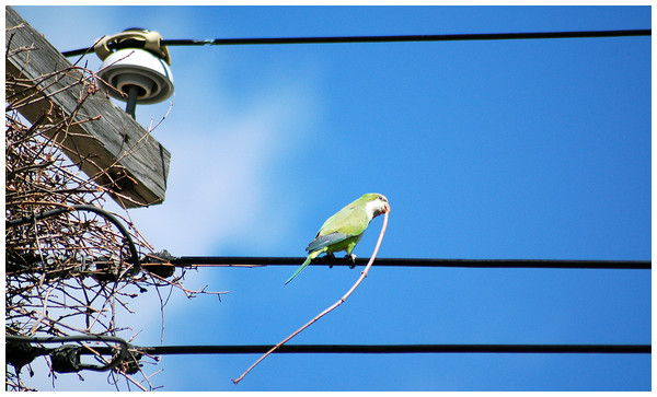 Monk Parakeet bringing a stick to the nest site.