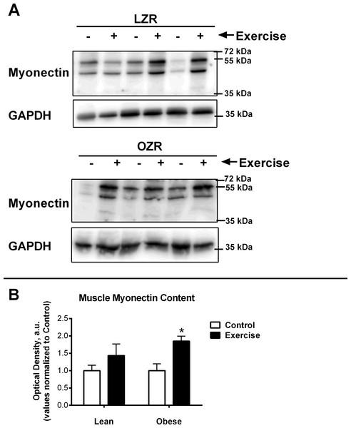 Relative Myonectin/CTRP15 content.