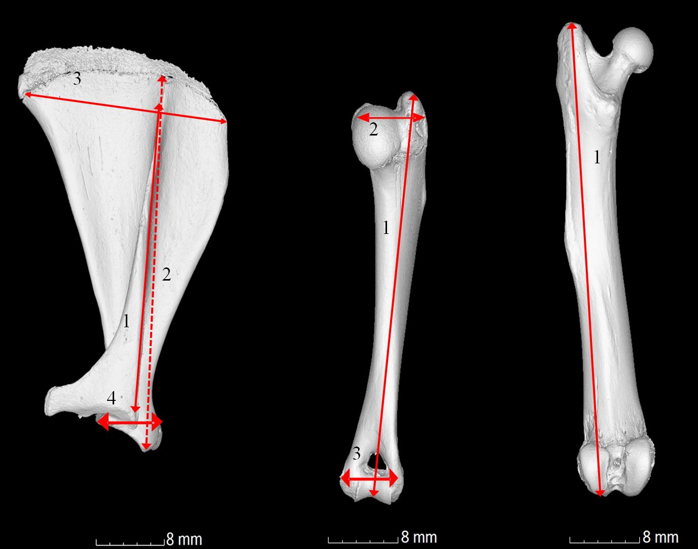 Computed tomography analysis of guinea pig bone: architecture, bone ...