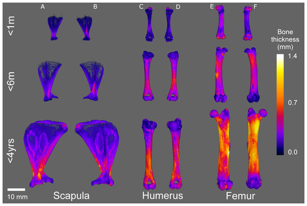 Micro-CT bone local thickness heat mapping reconstructions.