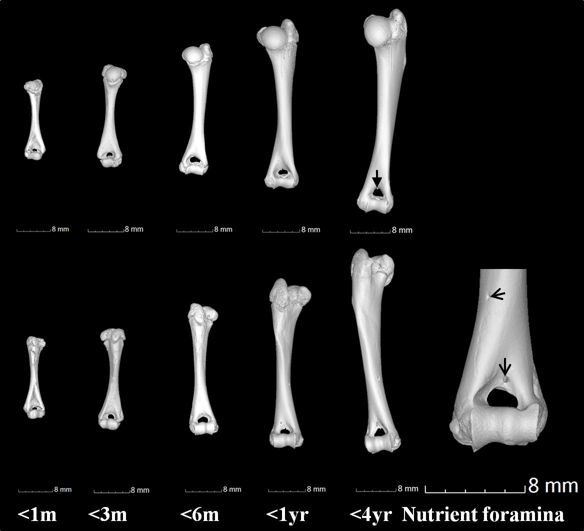 Computed Tomography Analysis Of Guinea Pig Bone