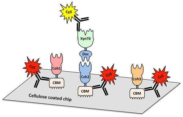 Scheme for cellulose-chip-based fluorescent antibody probing of cohesin–dockerin interactions.