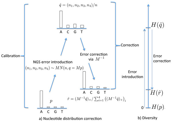 The stages of NGS nucleotide distribution error correction.