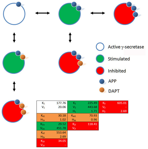 Schematic of the interactions between γ-secretase, its substrate APP and DAPT.