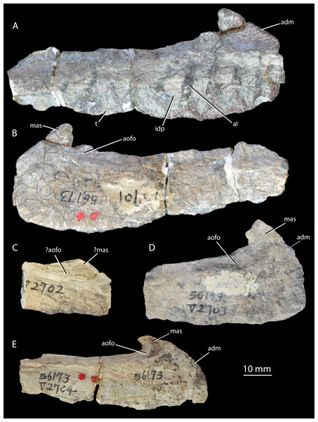 Holotype and paratypes of 'Wangisuchus tzeyii' nomen dubium.