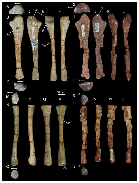 Right forelimb epipodials of Halazhaisuchus qiaoensis and 'Turfanosuchus shageduensis' nomen dubium.