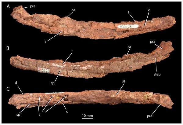 Mandible of 'Turfanosuchus shageduensis' nomen dubium.