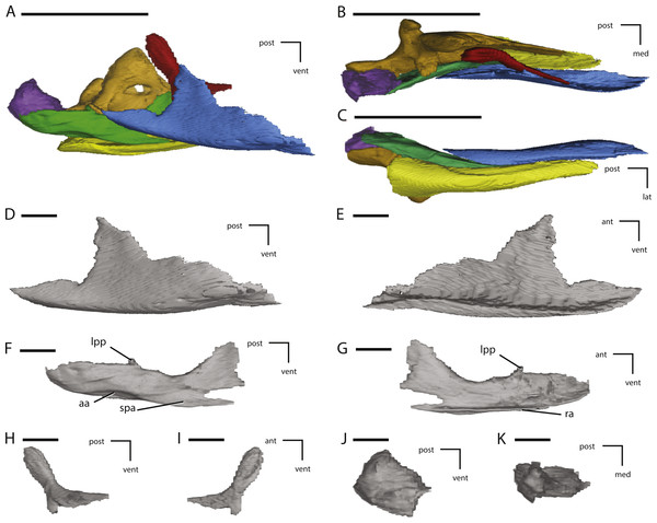 Additional figures of left posterior jaw elements of NCSM 15728 derived from CT scans.