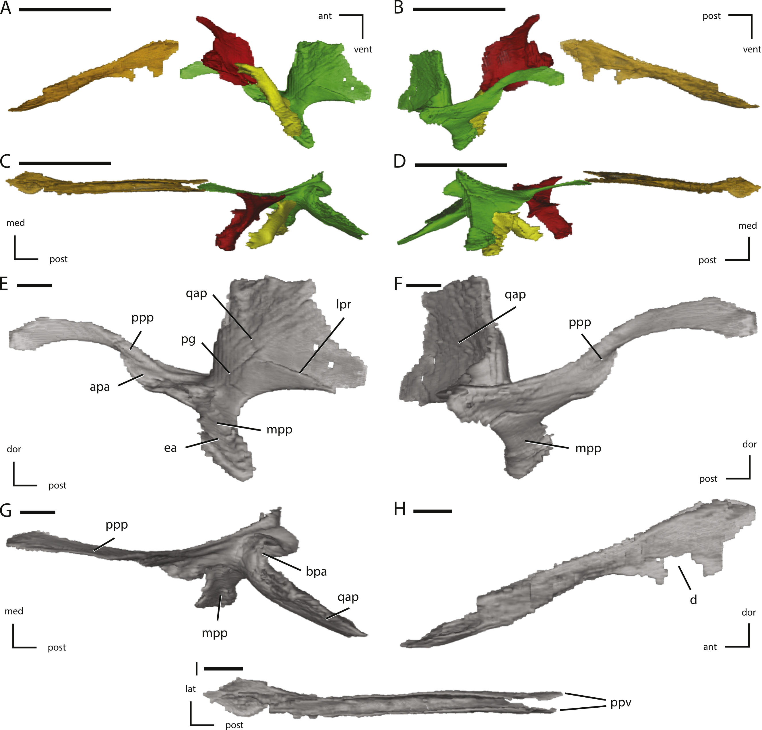 The cranial anatomy of the neornithischian dinosaur thescelosaurus download full size image mozeypictures Gallery