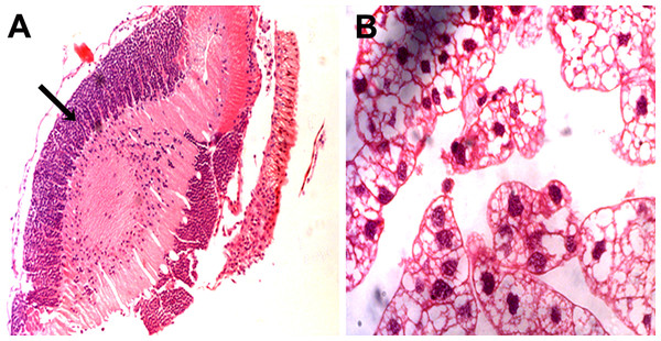 Representative micrographs of Neospora caninum-infected locust brains.
