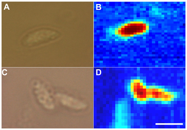 Raman spectroscopic imaging of tachyzoites.