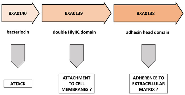 Putative functions of proteins encoded by the BXA0138-BXA0140 operon.