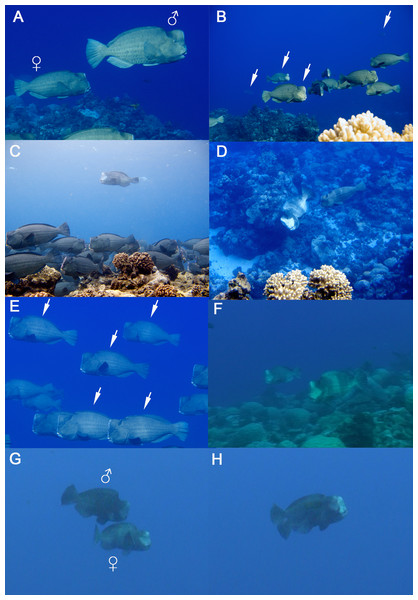 Reproductive ecology of Bolbometopon muricatum at Wake Atoll.