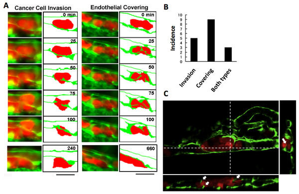 Two representative processes of extravasation in cancer cells.