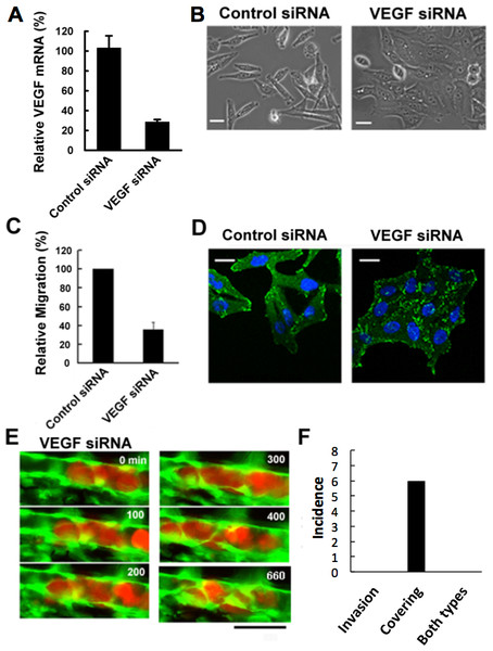 Effects of VEGF depletion on cancer cell properties and extravasation.