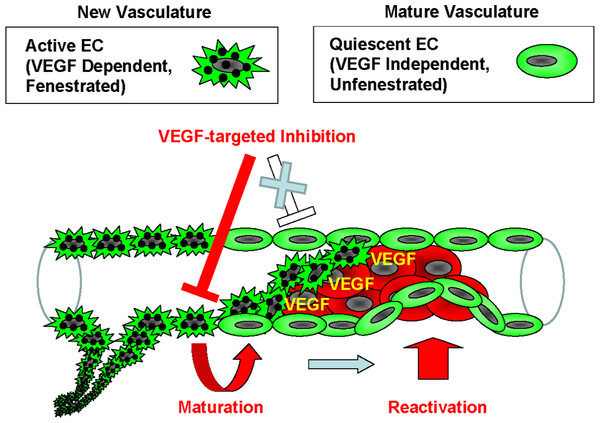 Model of the endothelial coverage regulation via vascular homeostasis maintenance.