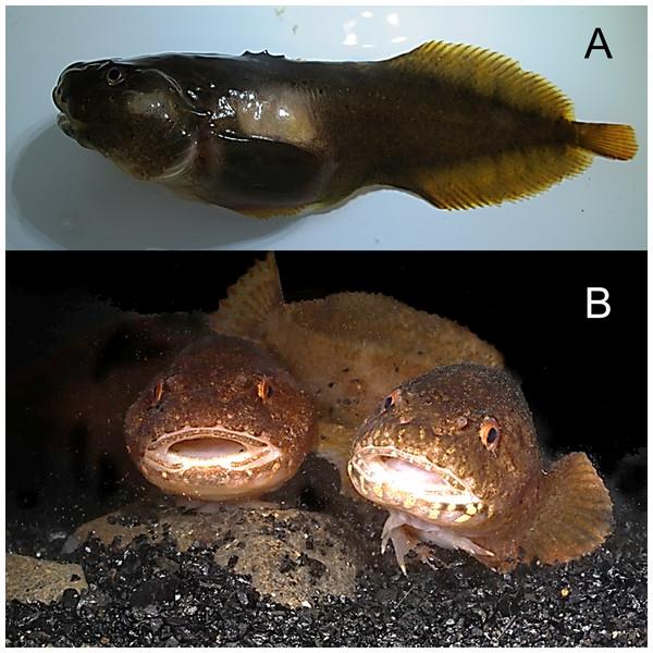 Kelp snailfish, Liparis tunicatus.