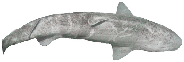 Greenland shark, Somniosus microcephalus, off Hayes Island in 211 m.