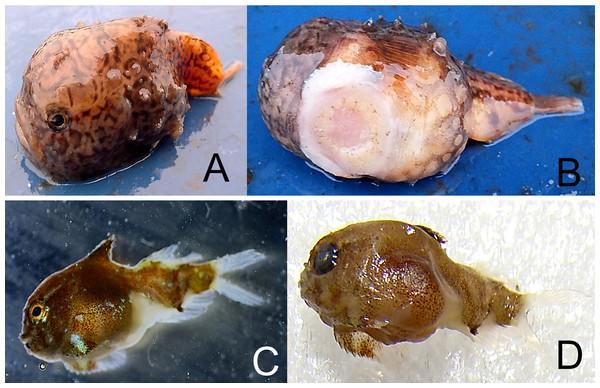 Derjugin's leatherfin lumpsucker, Eumicrotremus derjugini.
