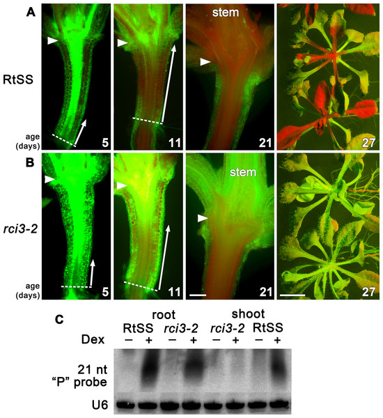 Silencing progress in mutant and wild-type RtSS Arabidopsis lines.