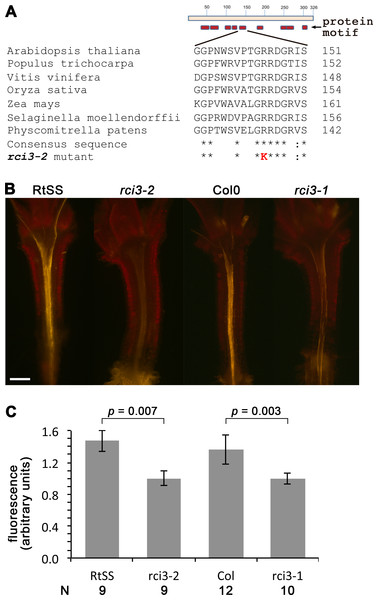 Mutation in RCI3/AtPrx03 reduces peroxide in rci3-2.