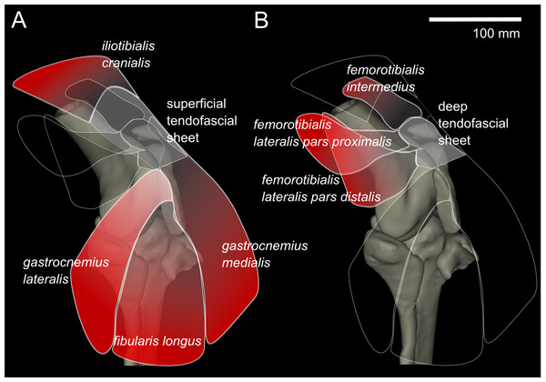 Representation of knee, in anterolateral view, showing superficial (A) and deep (B) muscles that attach to the tendofascial sheet containing the two patellae.