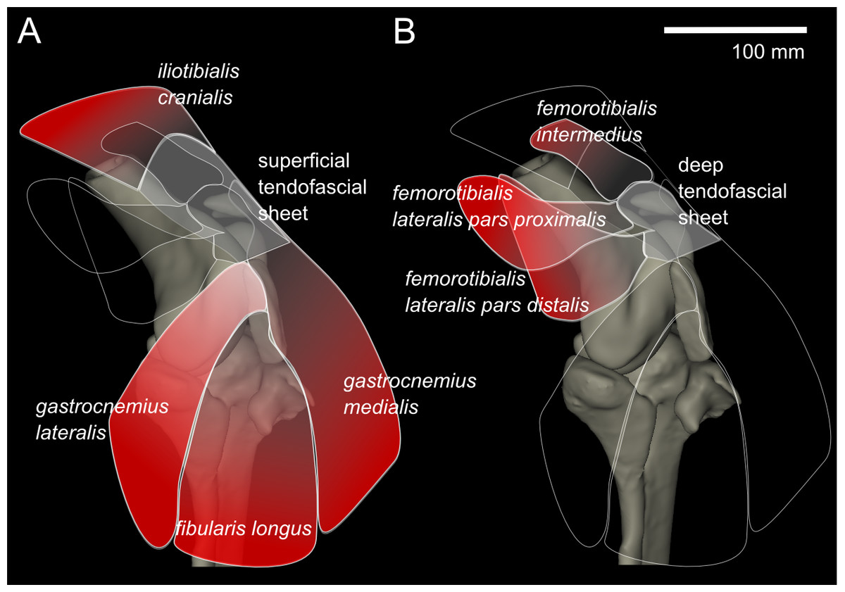 Anatomy of the knee muscles and tendons