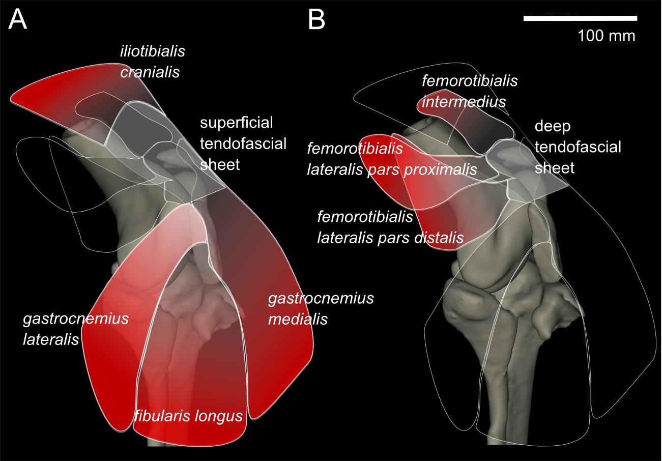 Three dimensional anatomy of the ostrich struthio camelus knee download full size image ccuart Images
