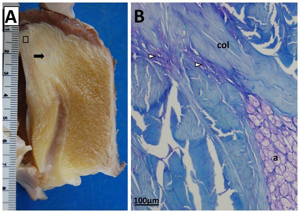 Patellar tendon of a Southern cassowary (Casuarius casuarius).