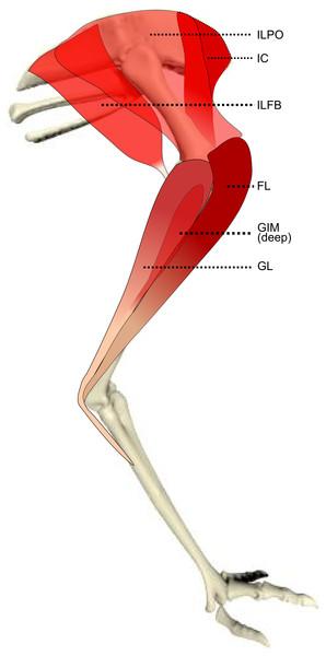 Schematic anatomical representation of Emu pelvic limb anatomy.