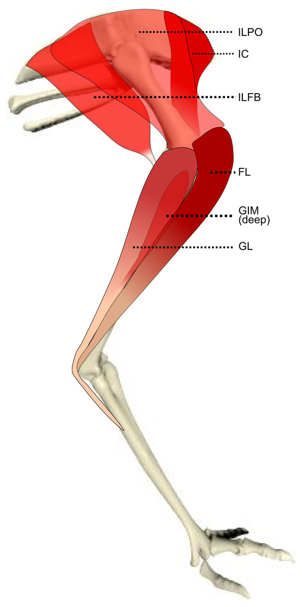 Birds on the run: what makes ostriches so fast? | www ... |Emu Anatomy