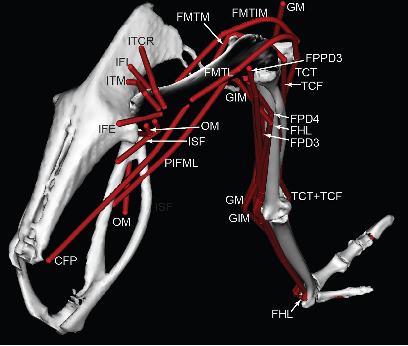 Musculoskeletal Modelling Of An Ostrich Struthio Camelus Pelvic Cat Skeleton Moreover Knee Muscles And Tendons Diagram In Addition Download Full Size Image